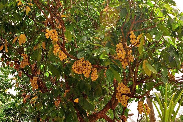 Trái loòng boong có vỏ màu vàng, múi trong thơm ngọt