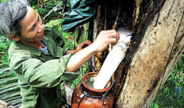 Cách lấy rượu tà vạt từ cây